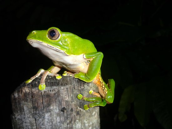 Otorongo Expeditions Jungle Lodge: Giant monkey frog.