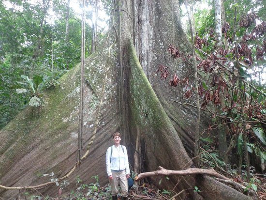 Otorongo Expeditions Jungle Lodge: Giant ceiba tree.