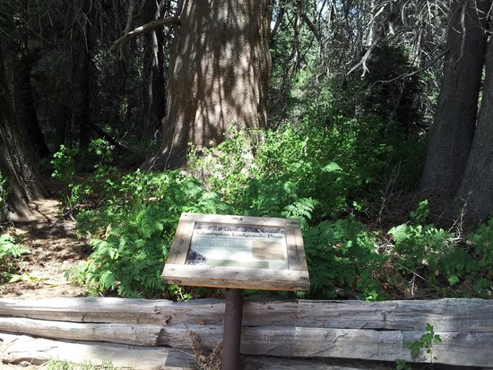 Champion Lodgepole Pine: Champion sign and tree