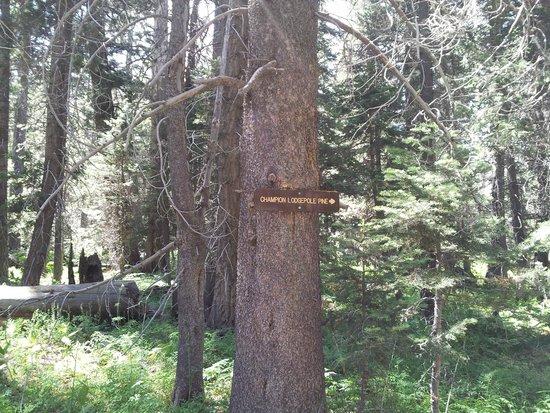 Champion Lodgepole Pine: trail sign