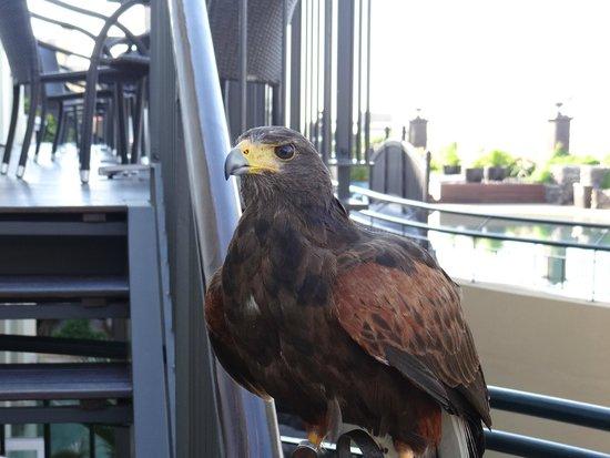 "Porto Santa Maria Hotel: ""Betty"" the Harris Hawk"
