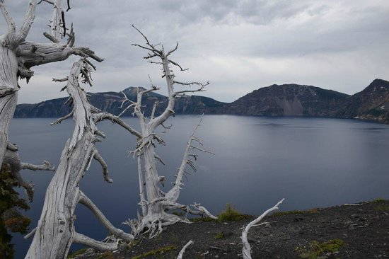 dead White Bark Pines on summit of Wizard Island