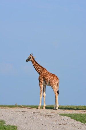 The Wilds: Giraffes