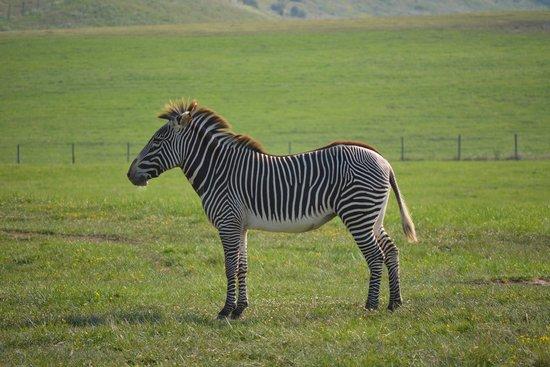The Wilds: Zebra