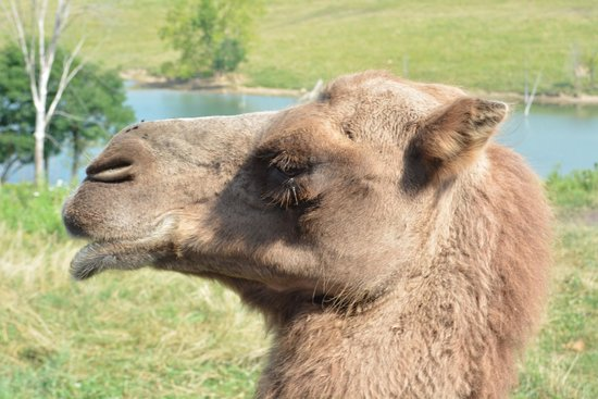 The Wilds: Camels