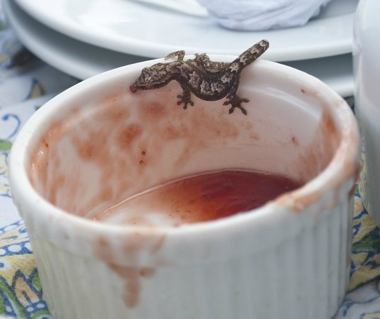 Eclypse de Mar: Gecko eating delicious breakfast jelly