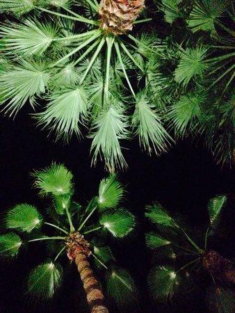 Club Med Palmiye: Les palmiers