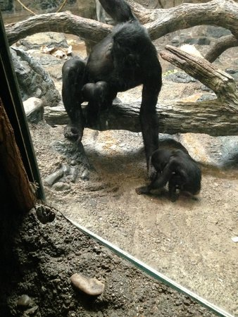 Cincinnati Zoo & Botanical Garden : brother teasing baby Bonobo