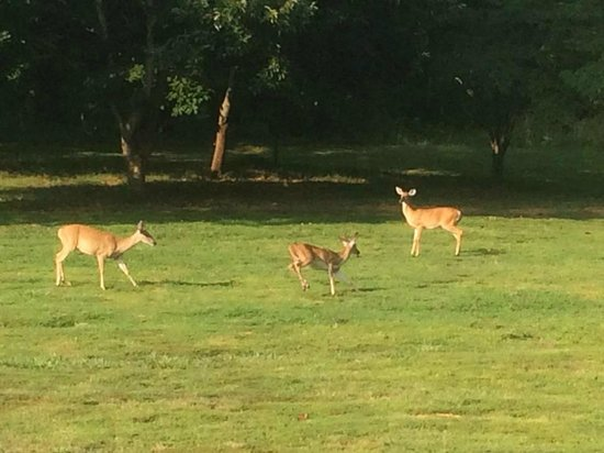 Arcady Vineyard Bed & Breakfast: Deer frolicking in the backyard