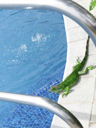 Los Suenos Marriott Ocean & Golf Resort: Animals by the pool