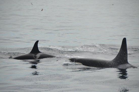 Kenai Fjords Tours: Orca whales up close