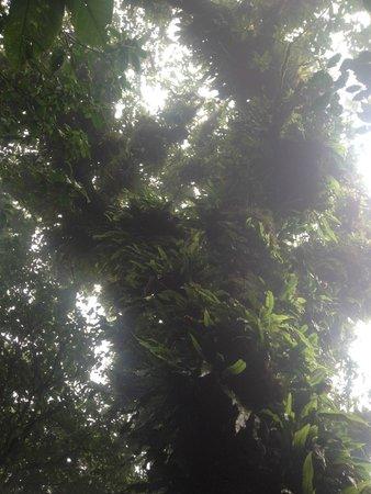 Mombacho Volcano: Tree in reserve