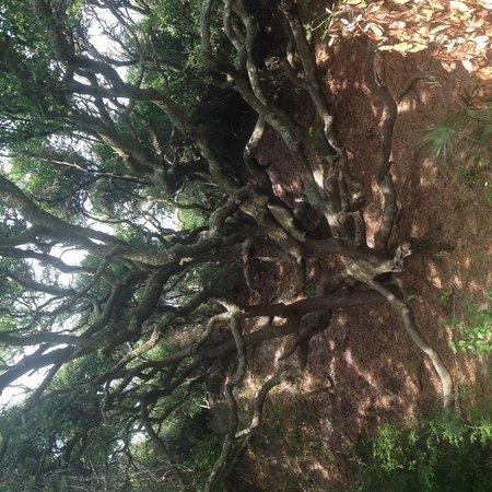 Hampton Inn & Suites Jekyll Island : Trees as seen from the boardwalk
