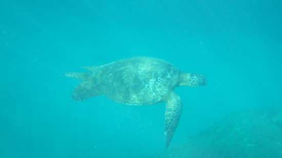 Turtle at Tunnels Beach