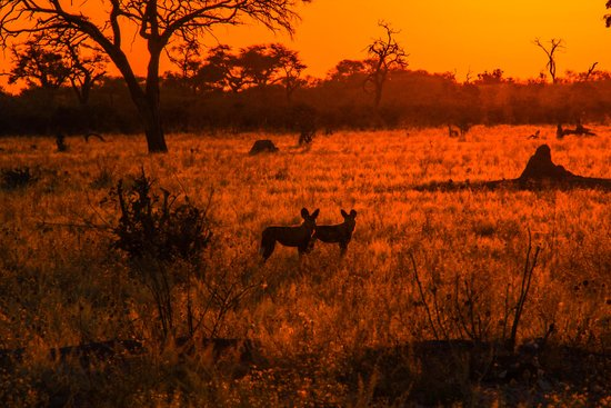 Belmond Savute Elephant Lodge : Endangered Wild Dogs