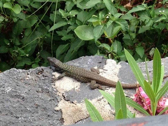 Hotel Puerto de la Cruz: hungry lizard