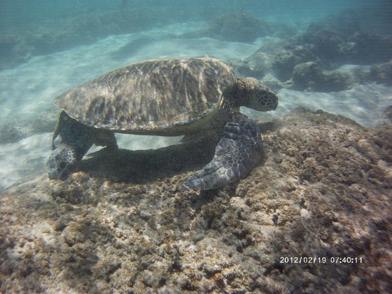 Pacific Whale Foundation: sea turtle