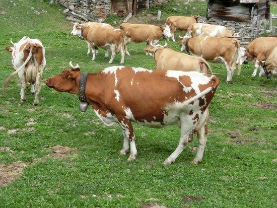 Apparthotel Casa Vanessa: Masser af kvæg i terrainet
