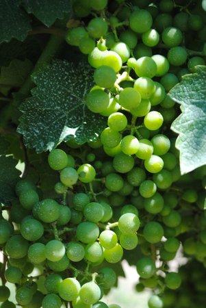 Peller Estates Winery: In the vineyard
