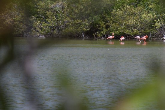 Guana Island: Flamingoes in the salt pond