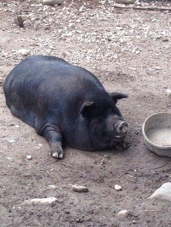 Stamford Museum & Nature Center : Guiana pig