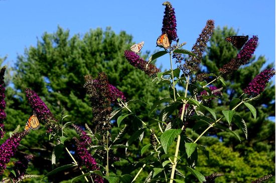 Six Chimneys & A Dream: Gorgeous Butterfly Bush at Six Chimneys.