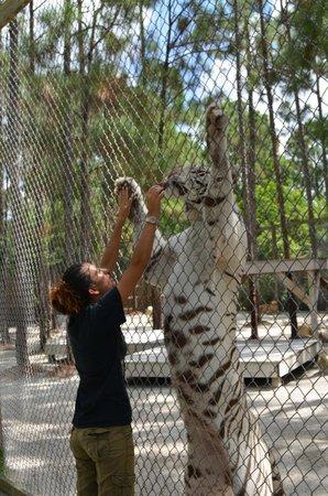McCarthy's Wildlife Sanctuary: White Tiger