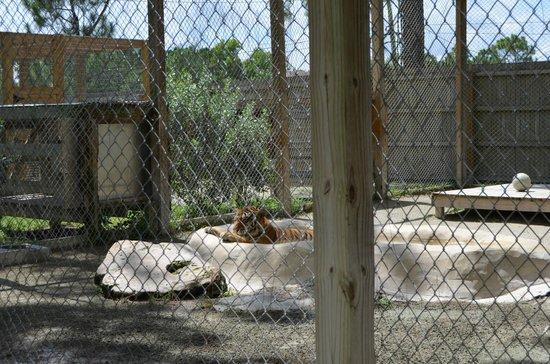 McCarthy's Wildlife Sanctuary: Tiger sunbathing in her pool