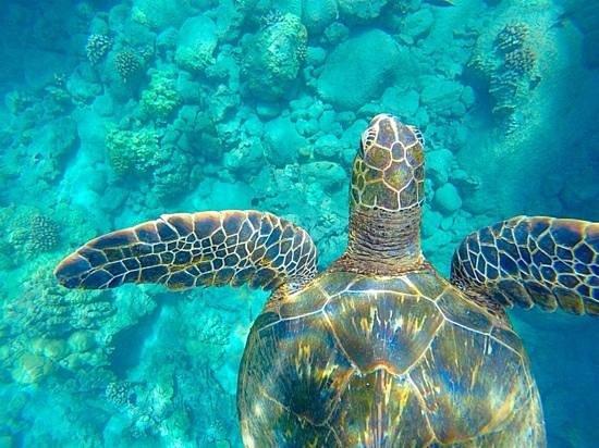 Aloha Kayaks Maui: green sea turtle