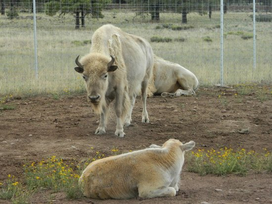 Bearizona Wildlife Park: white bison