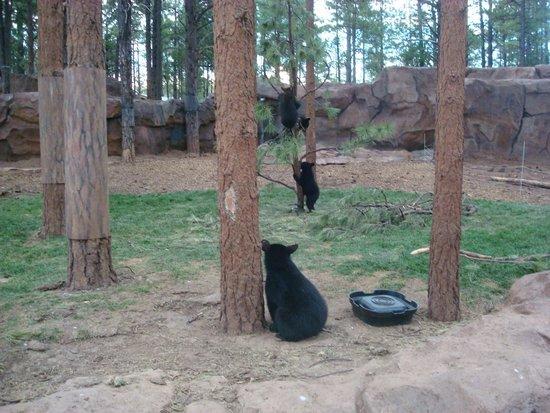 Bearizona Wildlife Park: bear cubs
