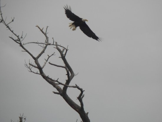 Chincoteague Natural History Association  Wildlife Tour : Bald eagle in the refuge