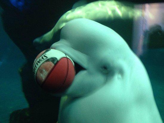 Shedd Aquarium : Beluga having fun