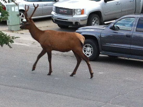 Creekside Accommodation: An elk wondering down the street. The photo was taken from Marie's deck.
