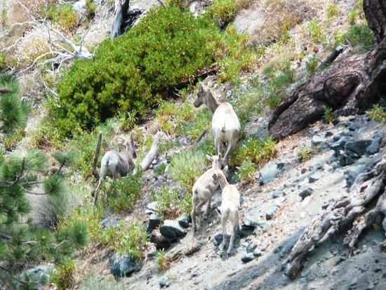 Mt. Baldy Ski Area: Mountain sheep family.