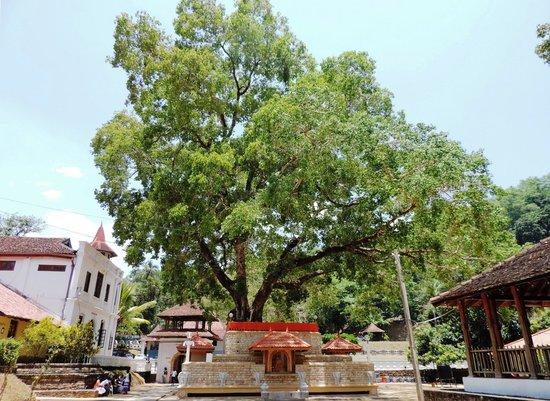 Natha Devale: Buddhist Nath devalaya-Bodi tree