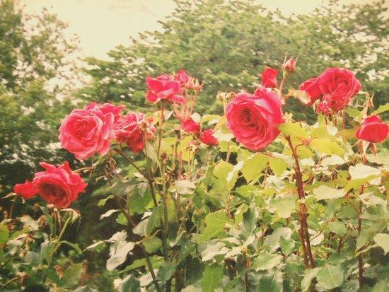 Botanischer Garten Christchurch: 特にバラが綺麗でした