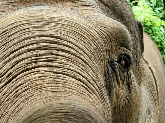 Anantara Golden Triangle Elephant Camp & Resort: Up close and personal with Batung.