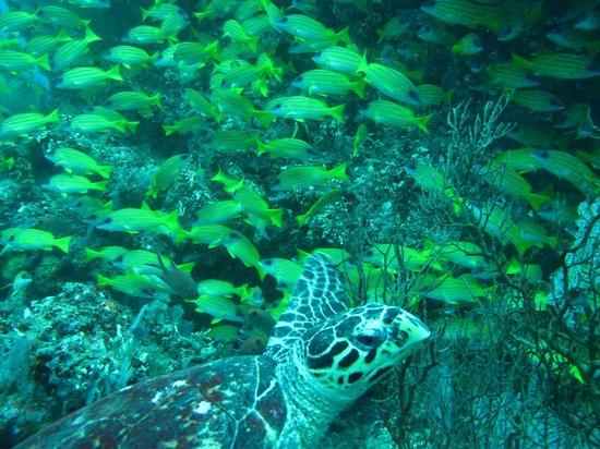 Baros Maldives: お魚はてんこ盛り!カメさん、シャークにも遭遇しました。