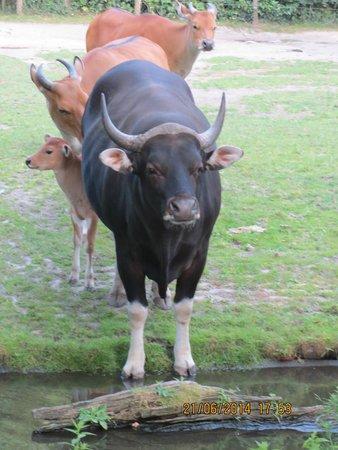 Rotterdam Zoo: koe