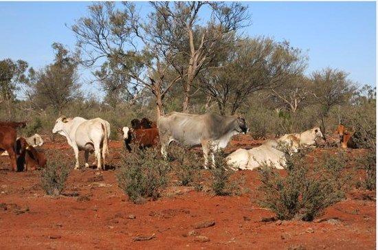 Kilcowera Station: Cattle on property