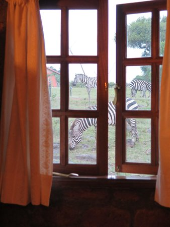 Mara West Camp: Zebras outside the bathroom!