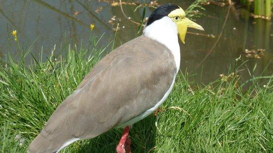 Le Parc des Oiseaux : vanneau soldat