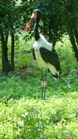 Le Parc des Oiseaux : Jabiru du Sénégal