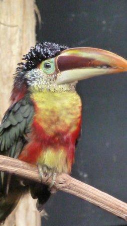 Le Parc des Oiseaux : Araçari de Beauharnais