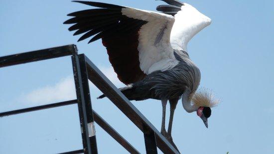 Le Parc des Oiseaux : Grue royale