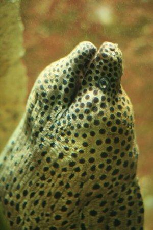 Grand Aquarium : Murène