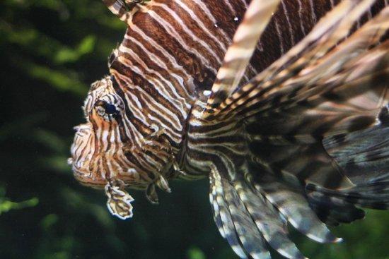 Grand Aquarium : Rascasse