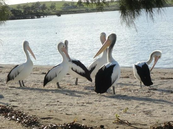 Streaky Bay Foreshore Tourist Park: Pelicans on the foreshore