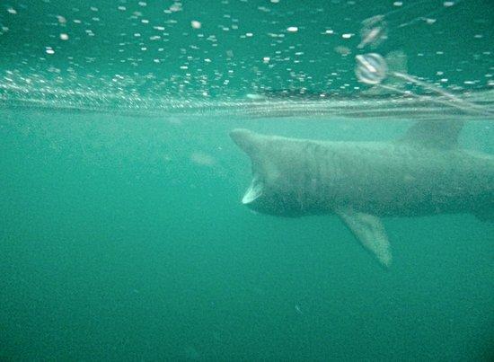 Basking Shark Scotland: basking shark experience
